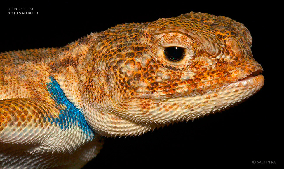 toad-headed-agama-Bufoniceps-laungwalansis