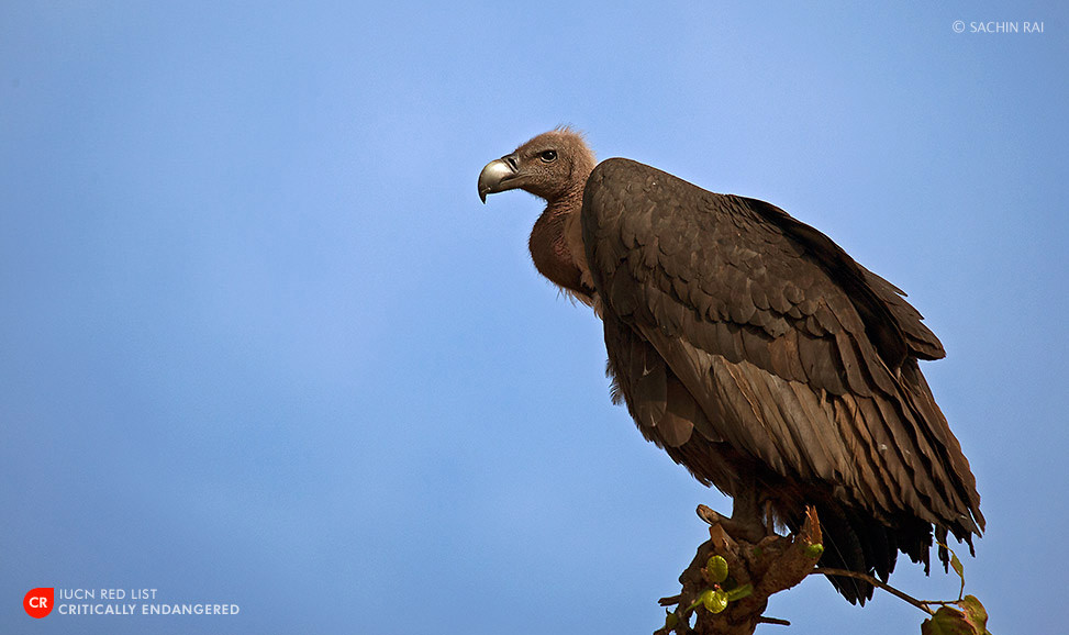 white-backed-vulture-sachin-rai